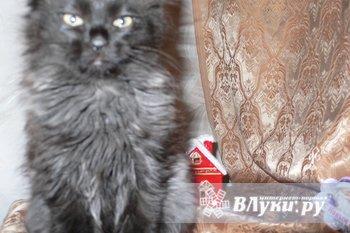 Продается котёнок (девочка). Сибирячка. Д.р. 21.10.12 Окрас - черный дым.…