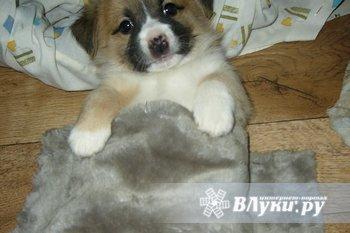 Продам недорого щенков,девочка чёрная и мальчик персиковый(3-х цвет.),помесь…