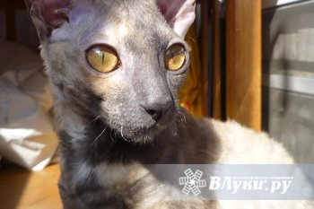 Кошке корниш-рекс, 10 мес., окрас голубо-кремовый нужен кот для вязки. Кошка с…