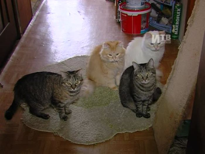 Импульс\u002DТВ: Всемирный день кошек