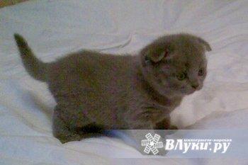 Продаются британские плюшевые котята. Возраст 1,5 мес. К туалету приучены. ц. 3000 р.