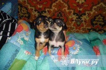 Продаются щеночки той-терьера,рождённые 22.05.2010 года, все вопросы по телефону  89113890131 Олеся