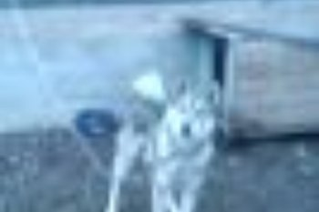 з,с лайка кобель, работает по мелочи, не совместим с другими собаками. 1 000 р.