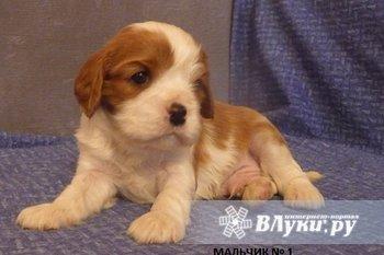Продаются щенки породы Кавалер Кинг Чарльз Спаниель от титулованных родителей.…