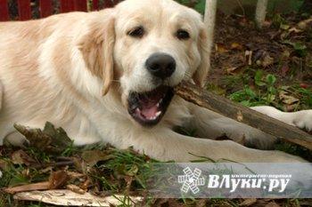 Голден ретривера щенок, 5 мес, умный, веселый, ласковый, полностью привит, приучен к туалету на улице, полный пакет документов, помощь в выращивании, воспитании,…