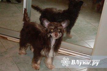 Срочно! Потерялся щенок Китайской Хохлатой собаки на трассе Москва-Рига 456 км…