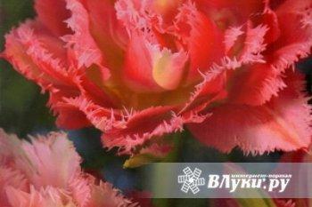 Луковицы супер-тюльпанов (махровые + бахромчатые), а также карликовые тюльпаны, махровые нарциссы, махровые гиацинты в том числе последние новинки.
