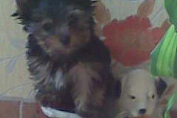 Очаровательные миниатюрные щенки йоркширского терьера 25.05.2011 г.р. от…