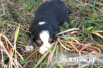 Продам щенков Бернского Зенненхунда. 1 ноября 2013 рождения. Отличные…
