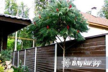 """Продам """"ДЕРЕВО-ПАЛЬМУ"""" - экзотика для Вашего сада и огорода - """"СУМАХ"""" (уксусное…"""