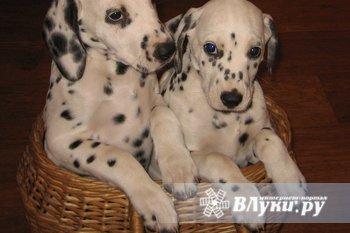 Продам очаровательных щенков породы далматин. 9.02.2010 г. рождения. Сука и кобель, привиты