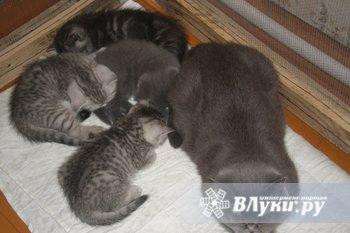 красивые британские котята 1,5 месяца.