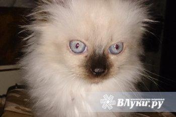 Продам котят недорого. Родились 07.11.2014 года.  1. Кошечка - окрас…
