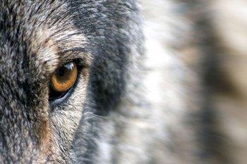 Опочецкий район атаковали волки