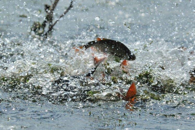 Сапреля набелгородских водоемах ограничат рыбную ловлю из-за нереста