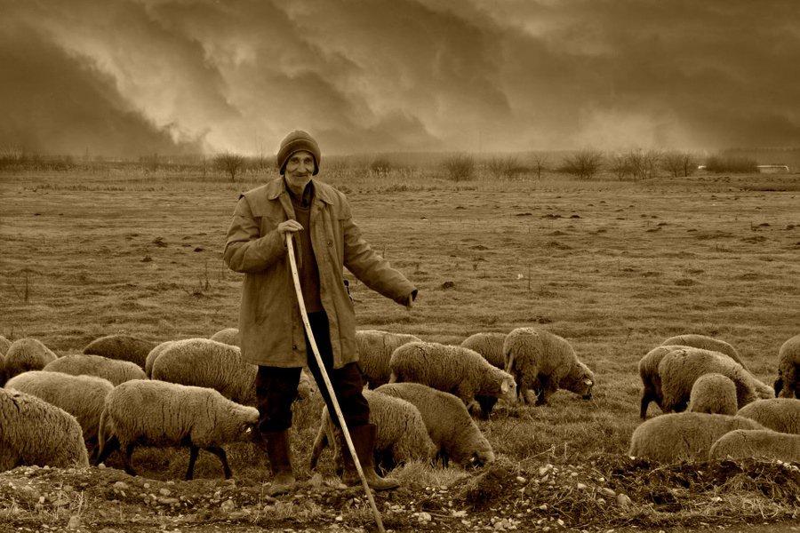 Учёные при помощи овец раскрыли тайну долголетия